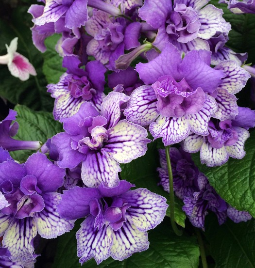 Streptocarpus with fancy, frilly flower form