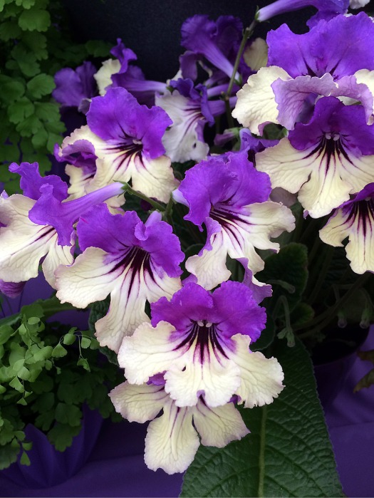 Streptocarpus with creamy lower petals, streaked purple