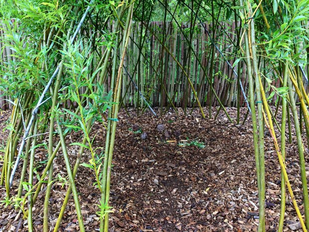 Shooting willow stems used to create a dome-shaped shelter with an entrance