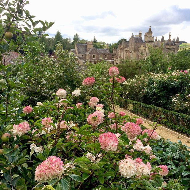 Hydrangeas in the flower borders at Abbotsford