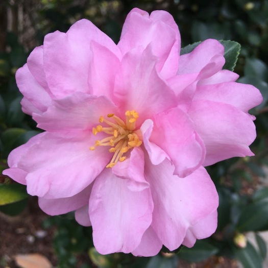 Camellia flower with a golden centre and luminous pink petals