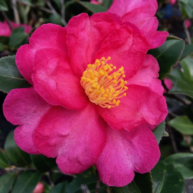 Deep pink camellia flower with golden stamens