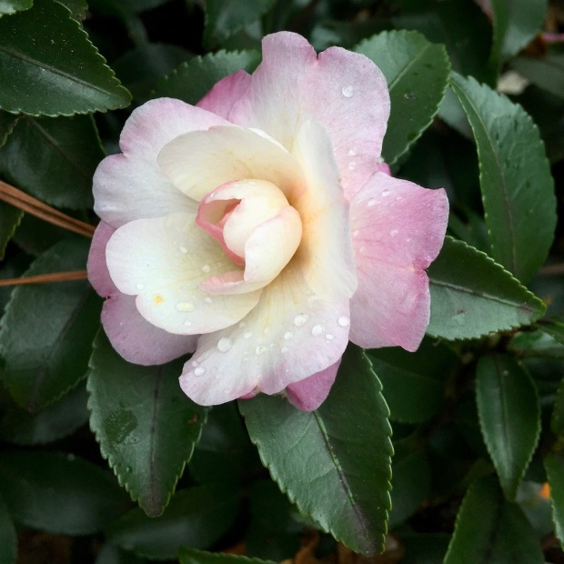 While camellia flower with a pale pink blush
