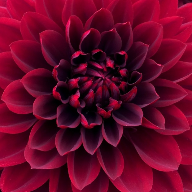 Close up of the petals in the centre of a crimson dahlia