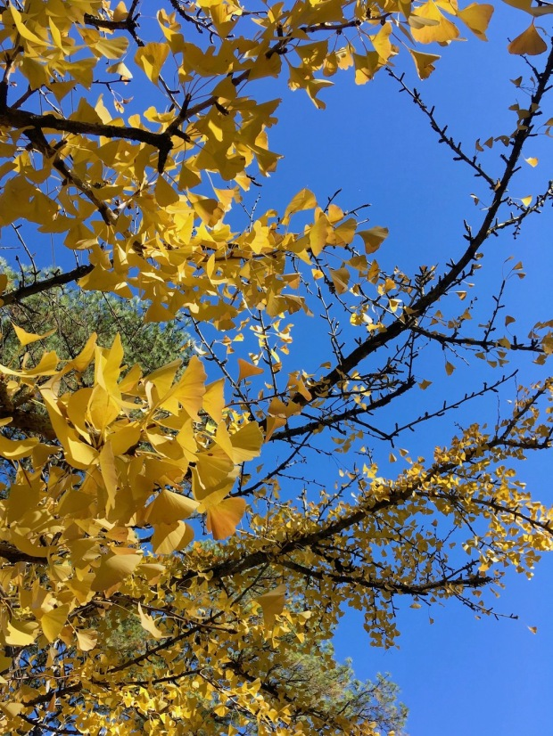 Branches of golden leaves against a blue sky