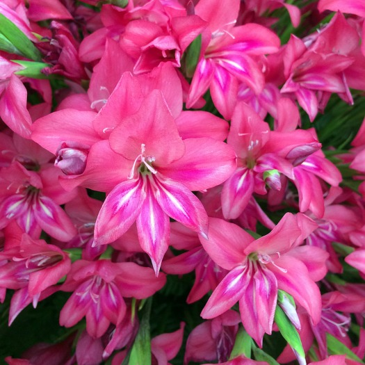 Cluster of brightly coloured gladiolus flowers