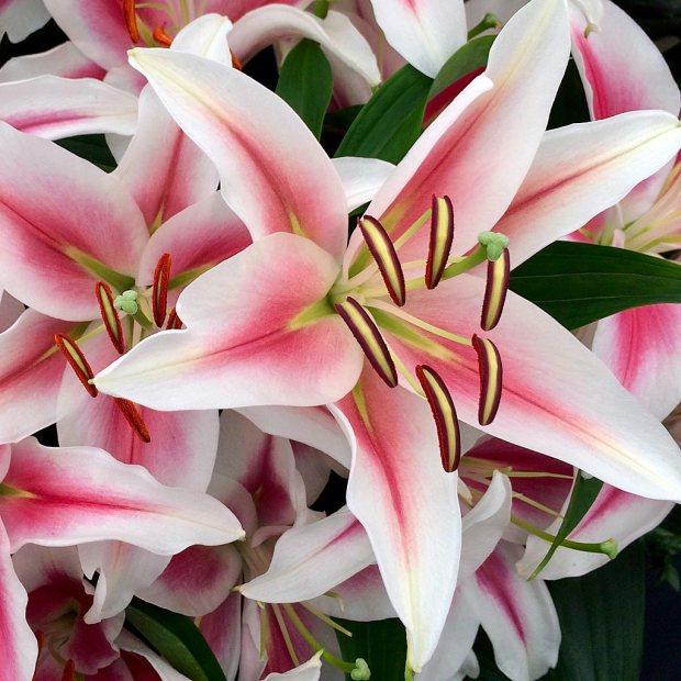 White lilies with a red flush down the centre of each petal
