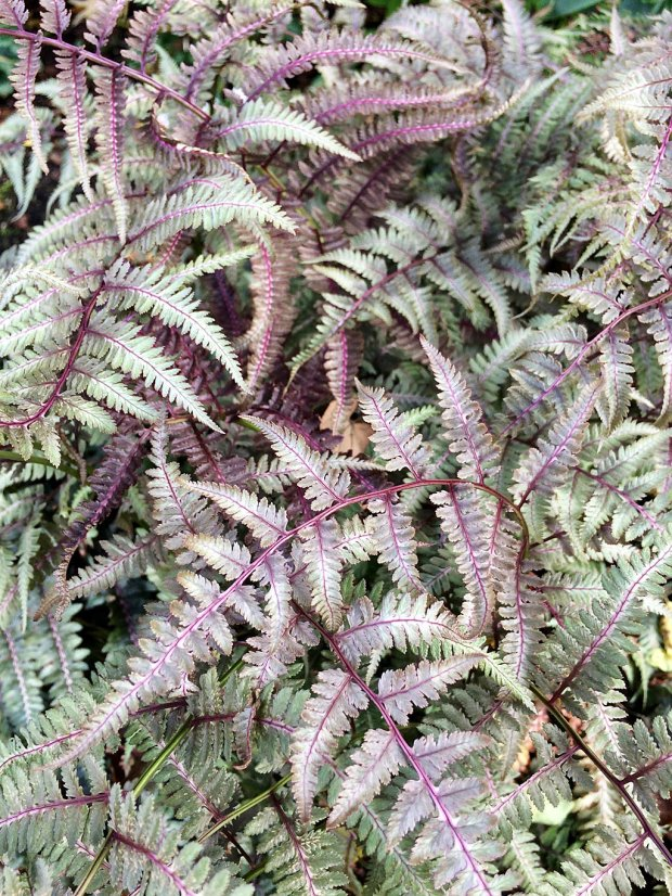Fern with silver and burgundy fronds