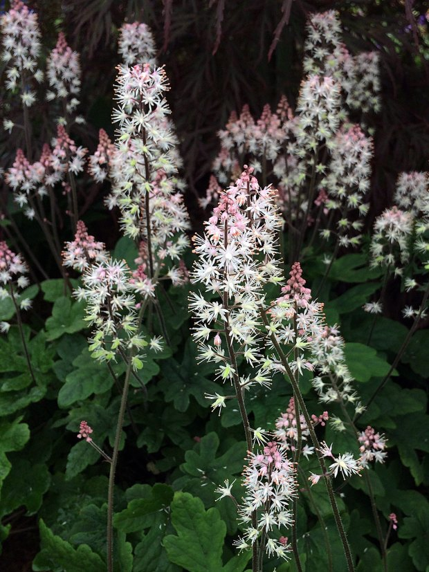 Spikes of starry white flowers topped with pink buds