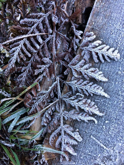 Fern frosted against wood