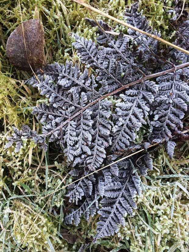Frost-covered fern lying on moss