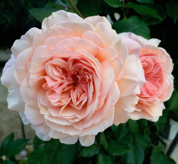 Apricot coloured 'A Shropshire Lad' roses
