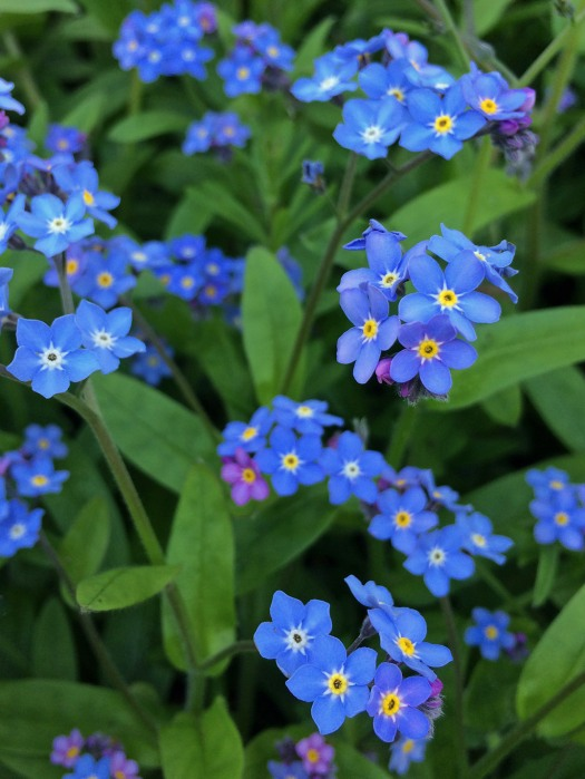 Blue forget-me-not flowers with yellow eyes