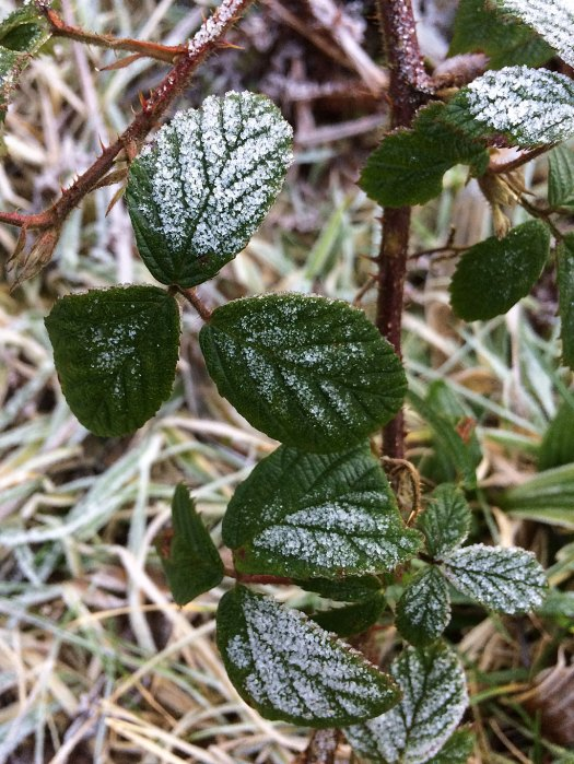 Bramble hanging down, its leaves covered in frost