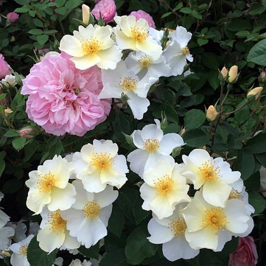 White 'Kew Gardens' roses