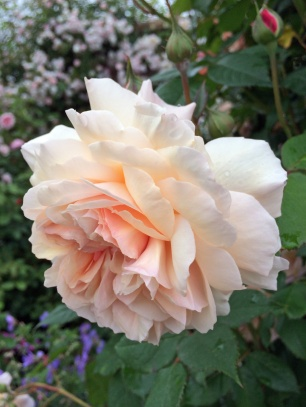 A peachy pink rose