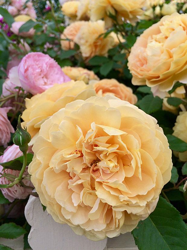 Yellow roses tumble over a white picket fence