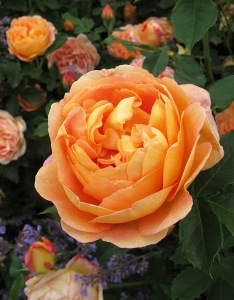 Rich golden-apricot roses with catmint