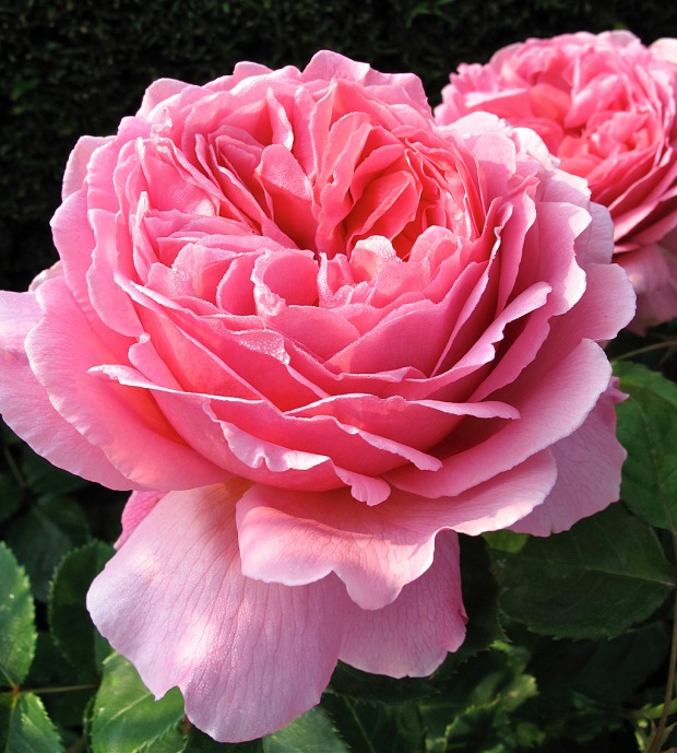 Large pink roses with a deep cup shape, filled with many petals