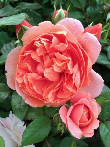 An orange rose with buds
