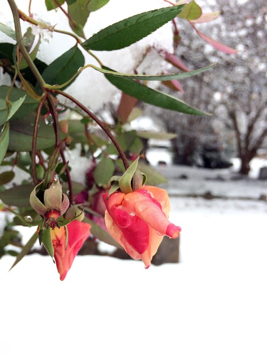 Pointed orange rose buds in snow covered cemetery