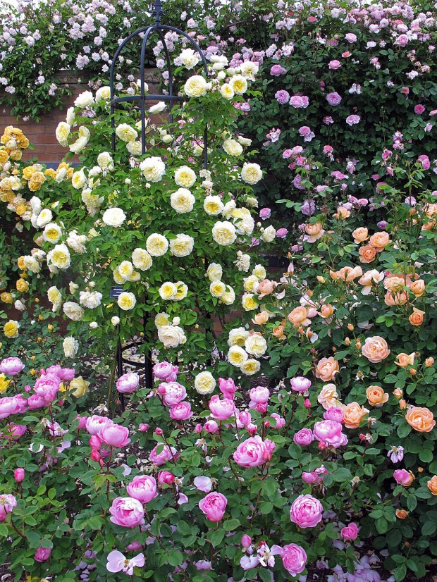 Pink, yellow and apricot roses