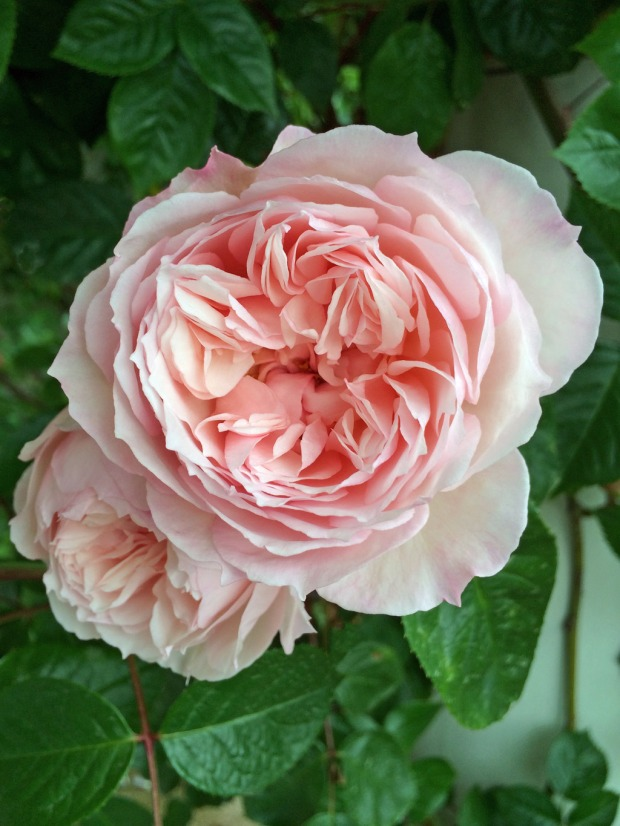 Pale pink rose with many petals