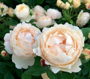 Cluster of creamy Wollerton Old Hall rose