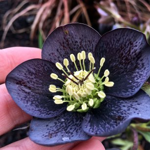 Slate grey hellebore with heavy black spotting