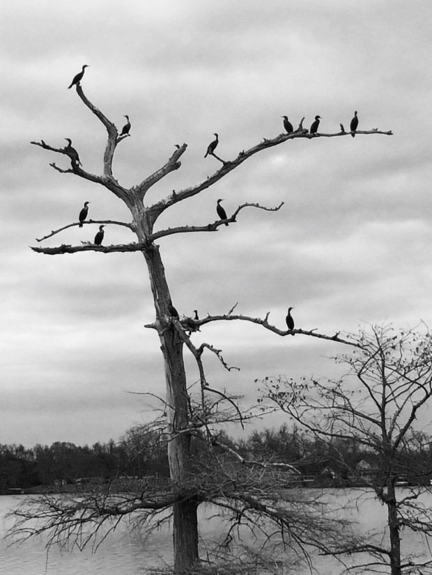 Tree with twelve cormorants on it