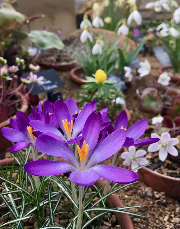 Crocus in the foreground with other flowers in small pots sunk into sand
