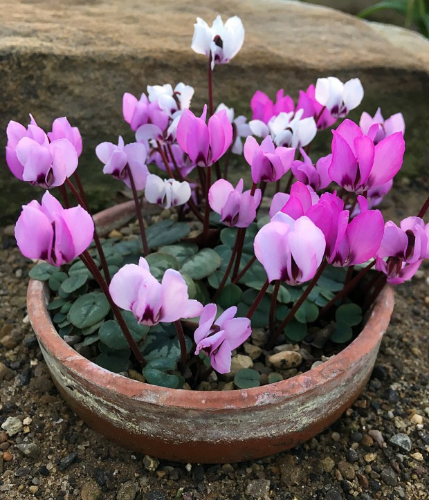 A pot full of cyclamen in various shades of pink