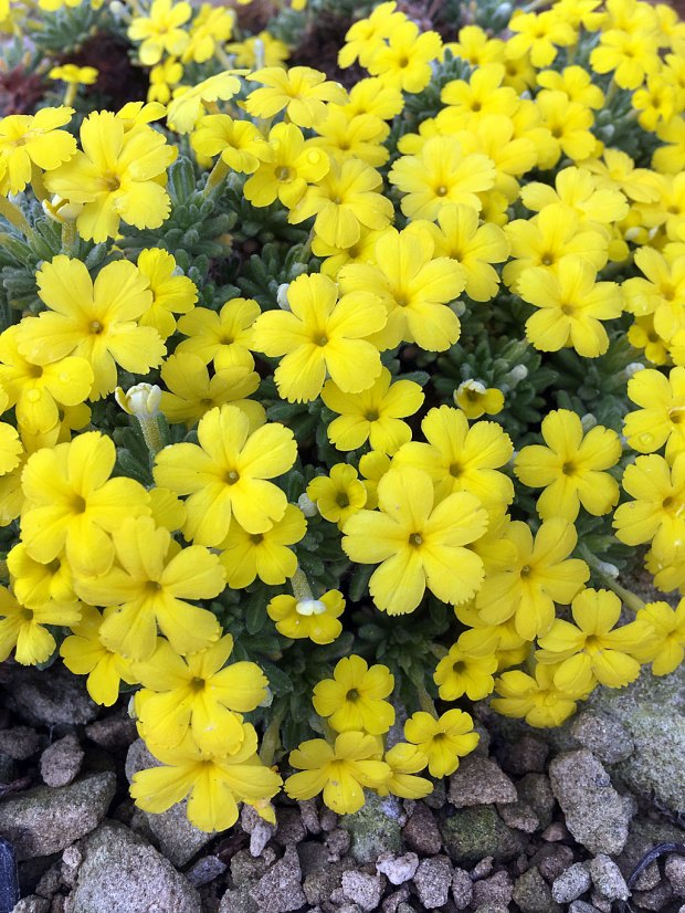 Cushion forming plant with small yellow flowers