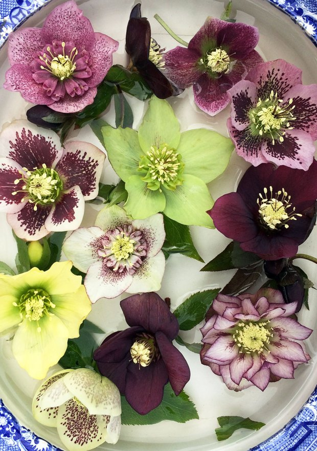 Different styles of hellebore flowers - singles, semis and doubles