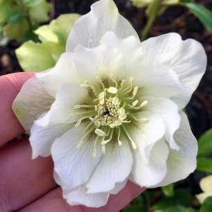 White double hellebore with greenish centre, freckled red