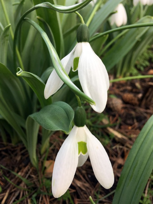 Comet snowdrop has large white petals