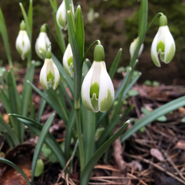 Snowdrop with pronounced green markings on the outer petals