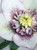 Close up of a white hellebore speckled purple