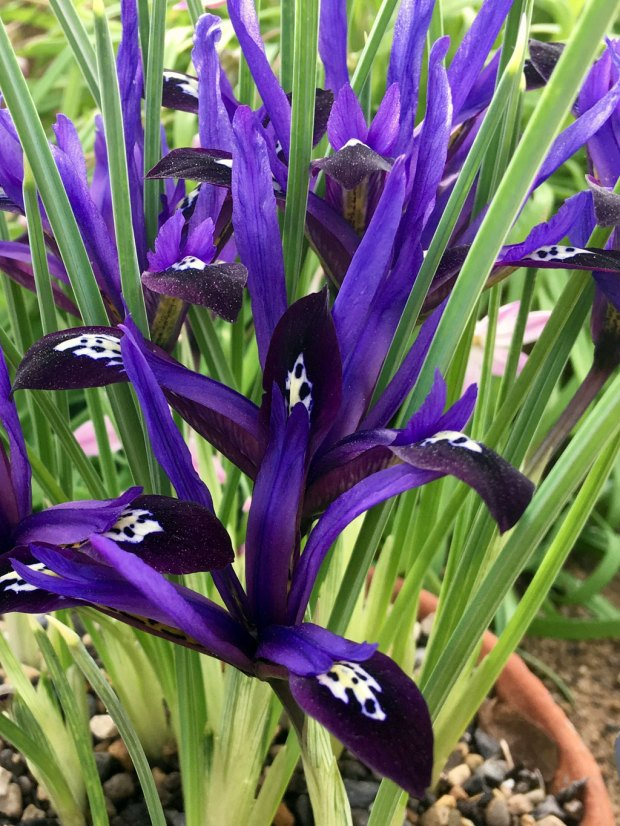 Iris 'Blue Note' has deep velvety blue petals
