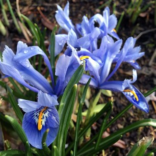 Blue iris with paler upper petals and yellow tongue
