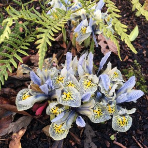 Iris with yellow flush, striped blue