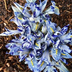 Mass of white irises with delft blue markings and yellow stripe