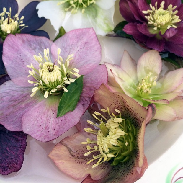 Pink, peach, cream and purple hellebores