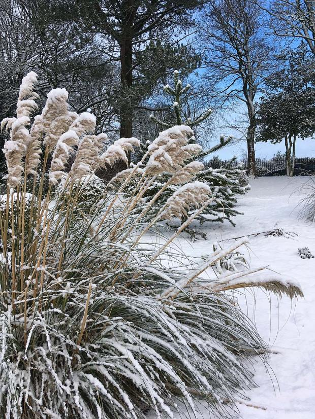 Tall grass with a covering of snow