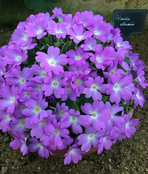 A small primula covered in a mound of flowers