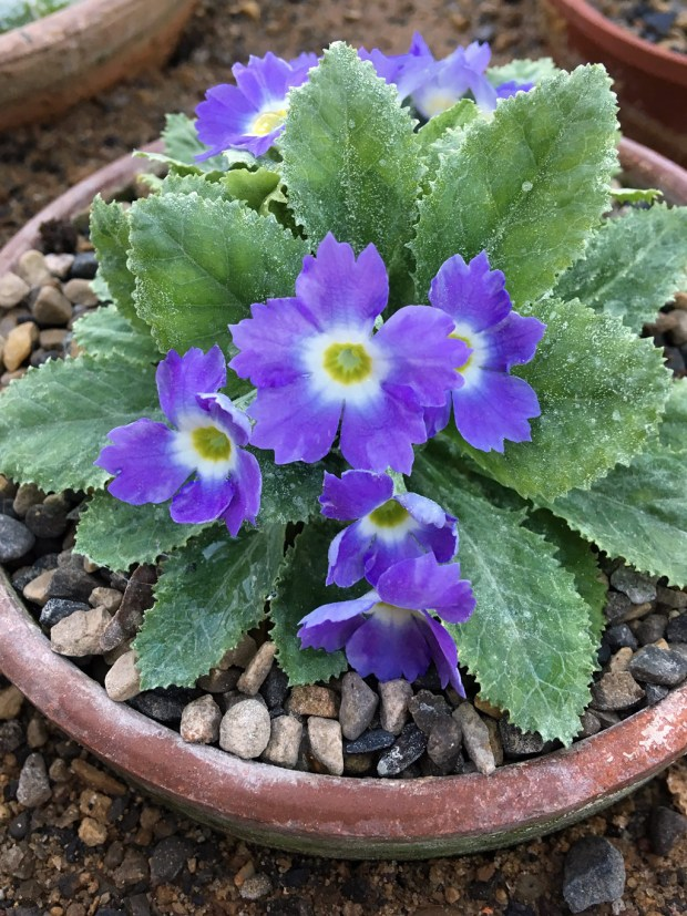 Lavender coloured primula with toothed, mealy leaves