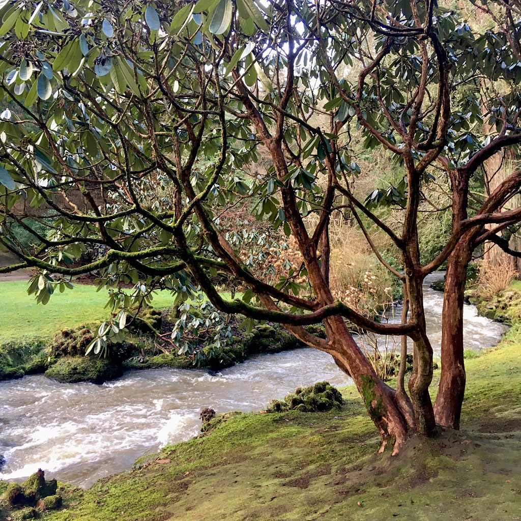 Rhododendron with elegant trunks beside a stream