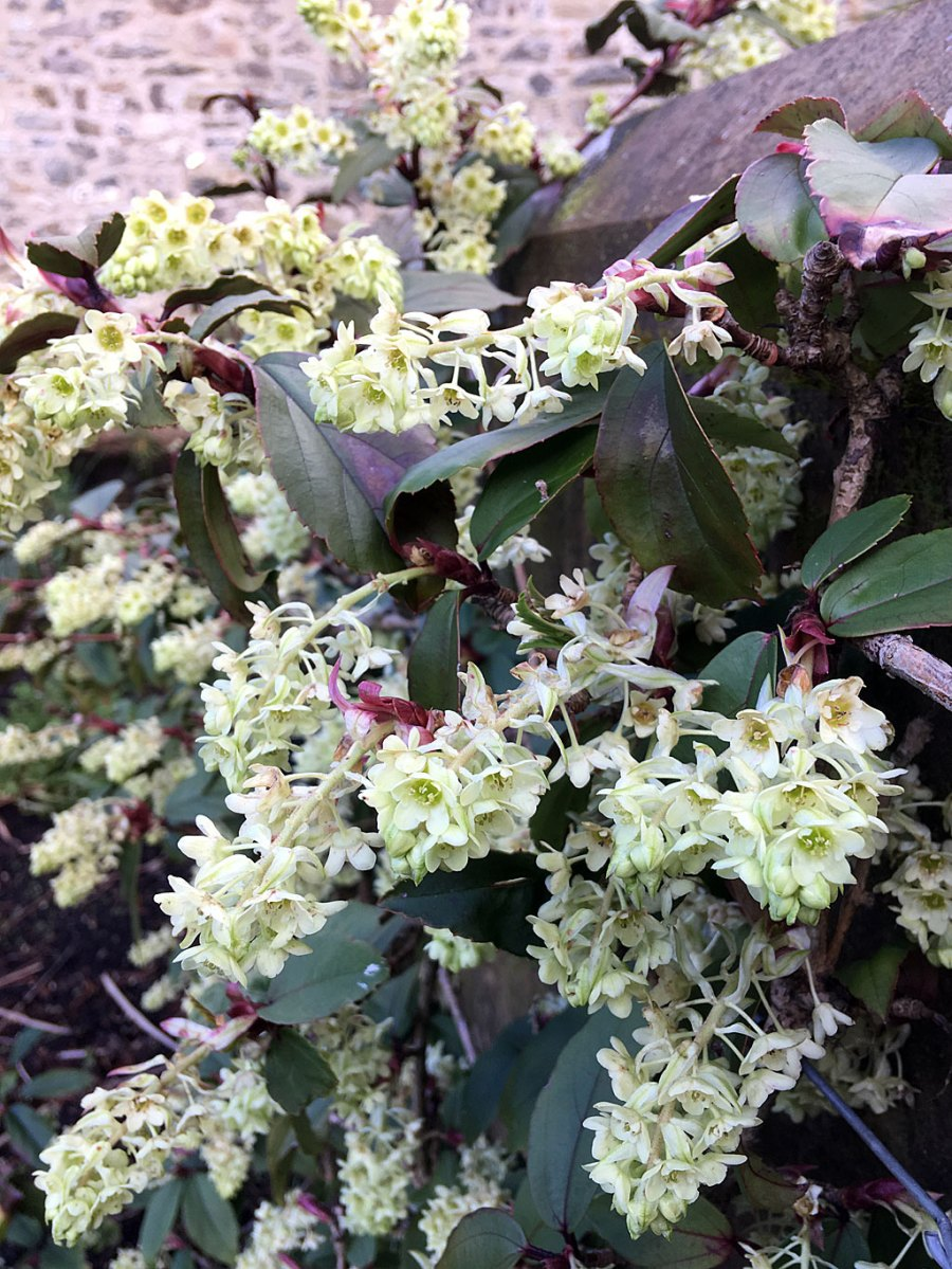 Plant with leathery leaves and pale creamy-green flowers