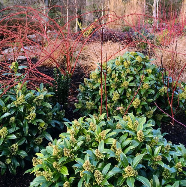 Skimmia with grasses and red twiggy plants