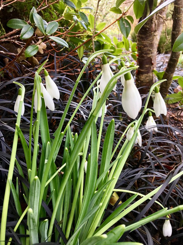 Snowdrops in the foreground with black mondo grass